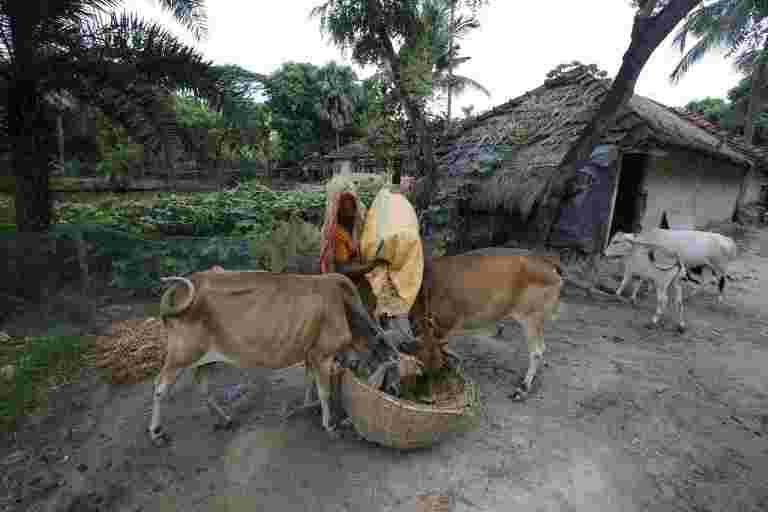 2019年预算:FM Piyush Goyal宣布为奶牛的福利宣布'Rashtriya Kamdhenu Aayog'